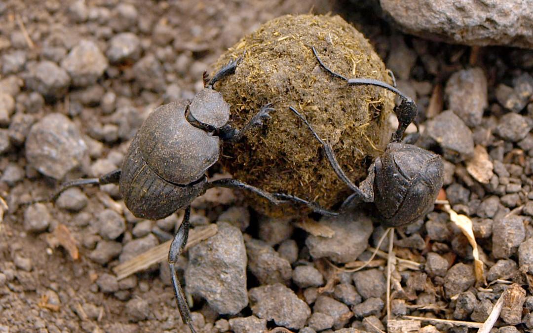 Dancing Dung Beetles